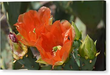 Orange Prickly Pear Blossoms  Canvas Print by Aimee L Maher Photography and Art Visit ALMGallerydotcom