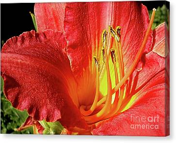 Orange-red Day Lily Canvas Print