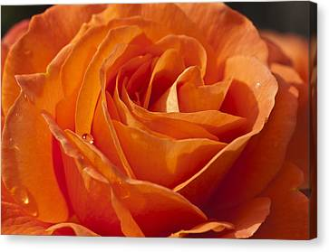 Orange Rose 2 Canvas Print by Steve Purnell
