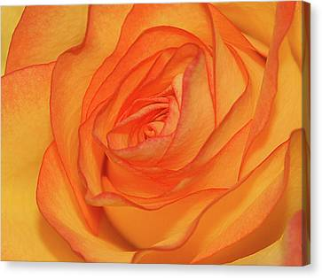 Orange Rose Canvas Print by Graham Taylor