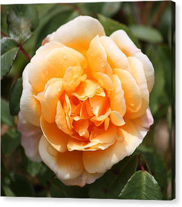 Orange Rose Square Canvas Print by Carol Groenen