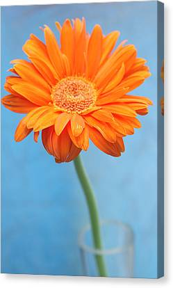 Orange Slanted Gerbera Canvas Print by Photography by Gordana Adamovic Mladenovic