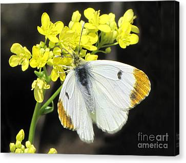 Canvas Print featuring the photograph Orange Tip Butterfly by Jacqi Elmslie