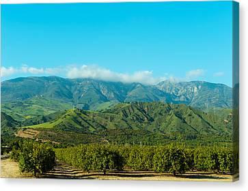 Orange Tree Grove, Santa Paula, Ventura Canvas Print by Panoramic Images