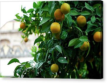 Canvas Print featuring the photograph Orange Tree by Lorraine Devon Wilke