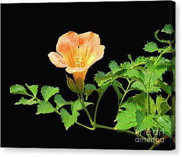Orange Trumpet Flower Canvas Print by Susan Lafleur