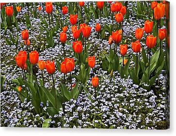 Orange Tulips And Blue Forget Me Nots In Spring Canvas Print by Louise Heusinkveld