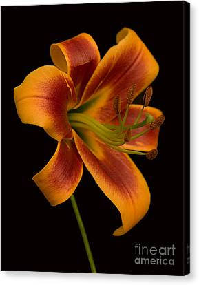 Day Lilly Canvas Print - Orange Wonder by Robert Pilkington