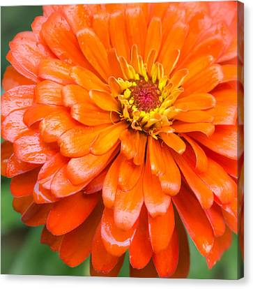 Orange Zinnia After A Rain Canvas Print by Jim Hughes