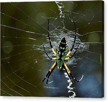 Orb-weaver 2 Canvas Print
