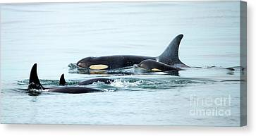 Orca Family Photo Canvas Print by Mike Dawson