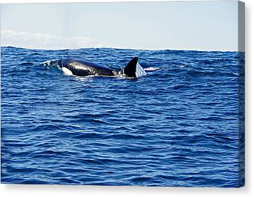 Orca Canvas Print by Marilyn Wilson
