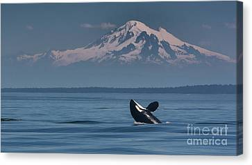 Orca - Mt. Baker Canvas Print