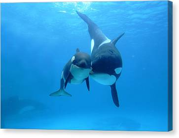 Orca Orcinus Orca Mother And Newborn Canvas Print by Hiroya Minakuchi