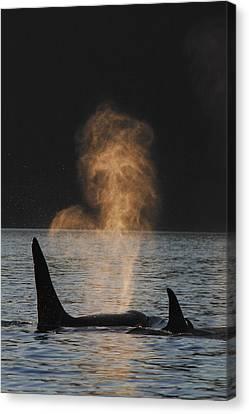 Orcas Ocinus Orca Spouting Alaska Canvas Print by Hiroya Minakuchi