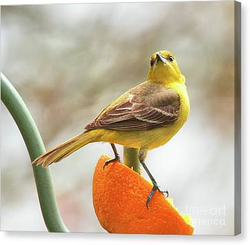 Canvas Print featuring the photograph Orchard Oriole by Debbie Stahre