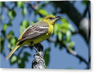 Orchard Oriole With Insect Canvas Print by Morris Finkelstein