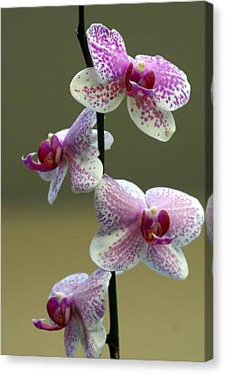 Orchid 16 Canvas Print by Marty Koch