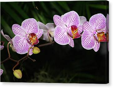 Orchid 2 Canvas Print by Marty Koch