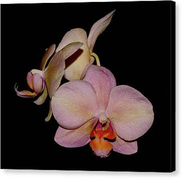 Orchid 2016 1 Canvas Print by Robert Morin