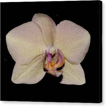 Orchid 2016 2 Canvas Print by Robert Morin