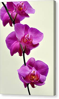 Orchid 26 Canvas Print by Marty Koch