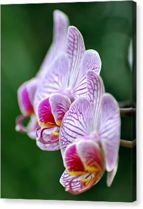 Orchid 30 Canvas Print by Marty Koch