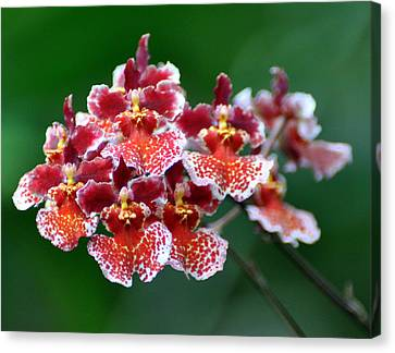 Orchid 31 Canvas Print by Marty Koch