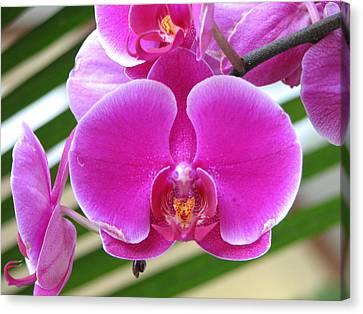 Orchid 8 Canvas Print by David Dunham