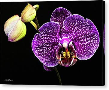 Orchid Canvas Print by Christopher Holmes