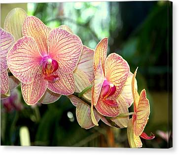 Golden Pink Orchid Canvas Print - Orchid Delight by Karen Wiles
