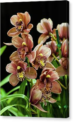 Canvas Print featuring the photograph Orchid Flowers  by Catherine Lau