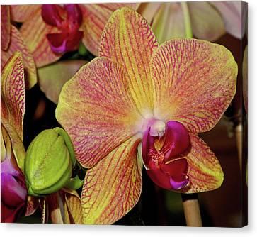 Orchid Canvas Print by Lynda Lehmann