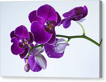 Orchid No. 2 Canvas Print by Harry H Hicklin
