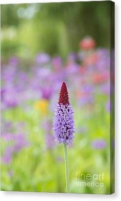 Orchid Primrose Flower Canvas Print by Tim Gainey