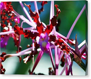 Orchid Spider Canvas Print by Karen Wiles