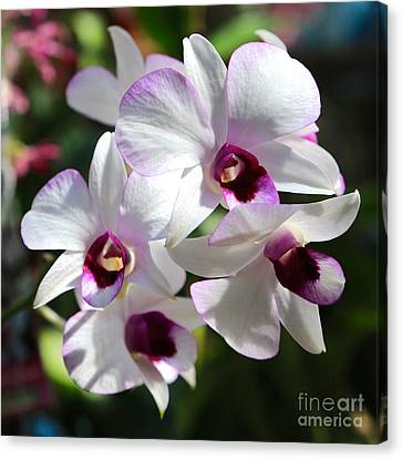 Orchid Square 2 Canvas Print by Carol Groenen