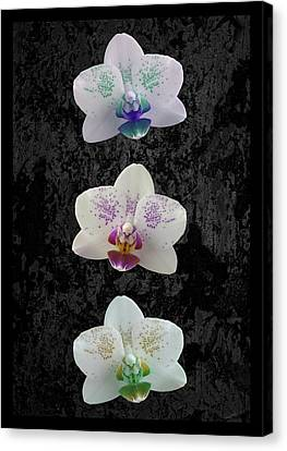 Orchid Trio Canvas Print by Hazy Apple