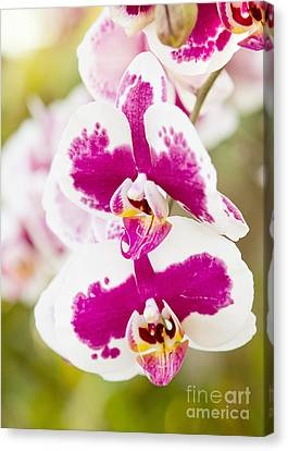 Orchid Wings Canvas Print by A New Focus Photography