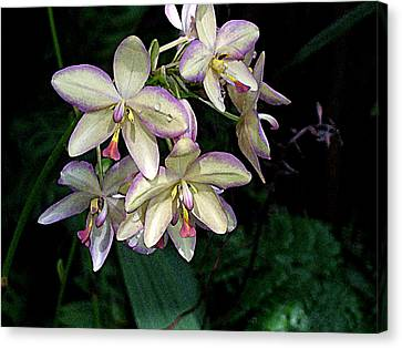 Orchidaceae Canvas Print by Don  Wright