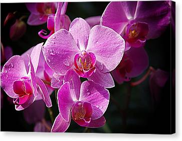 Orchids 4 Canvas Print