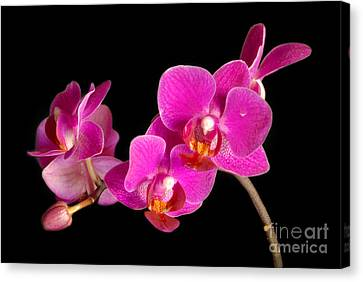 Canvas Print featuring the photograph Orchids by Alana Ranney