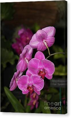 Orchids Alicia Canvas Print