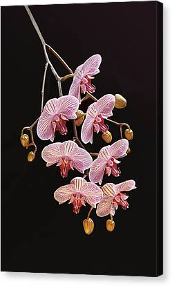 Orchids Galore Canvas Print by Bijan Pirnia