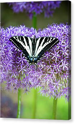Canvas Print featuring the photograph Oregon Swallowtail by Bonnie Bruno