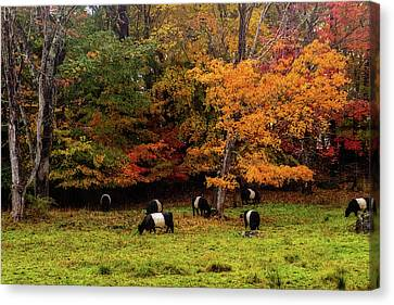 Oreo Cookie Cows Canvas Print by Terry Davis