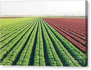 Organic Lettuces Growing Canvas Print by Inga Spence
