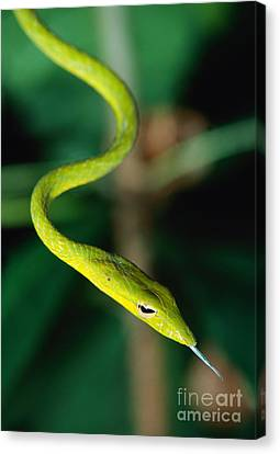 Whip-snake Canvas Print - Oriental Whip Snake by Andreas Hartl