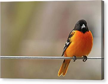 Oriole On The Line Canvas Print