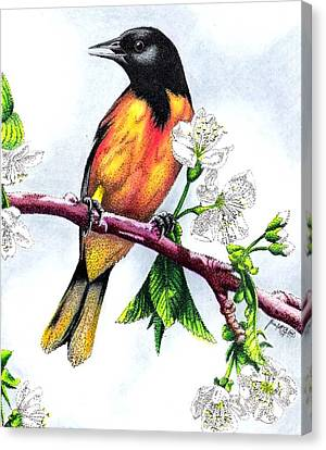 Orioles Canvas Print - Oriole by Scarlett Royal